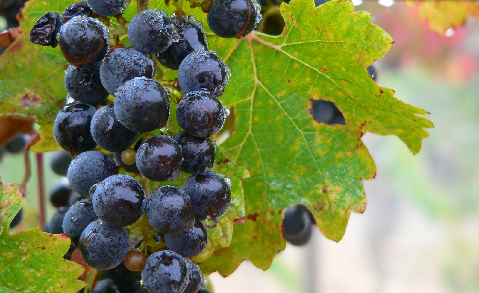 【カリフォルニアワイン初歩の初歩】カベルネ・ソーヴィニヨンはロックンロール♪