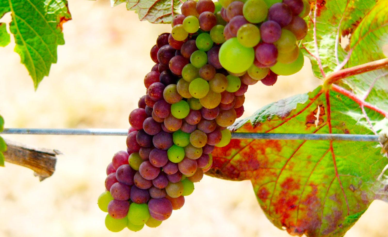 【カリフォルニアワイン初歩の初歩】ピノ・ノワールは『色気の葡萄』