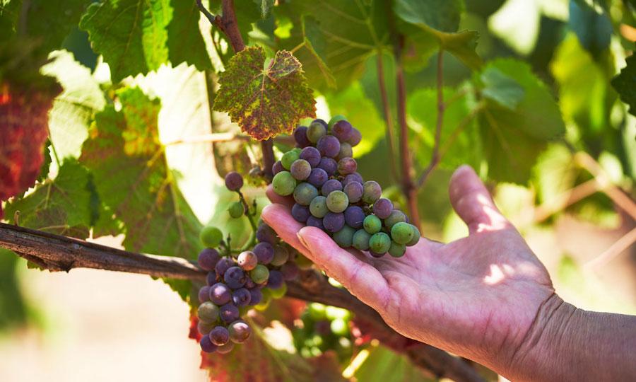 ブドウが色づく時期、科学と人の想いがブドウを色付かせる